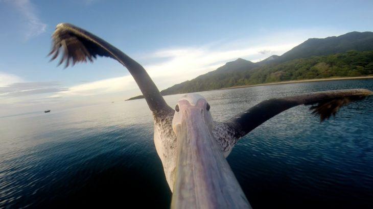 Камера GoPro на клюве у пеликана: красивые виды с высоты птичьего полета
