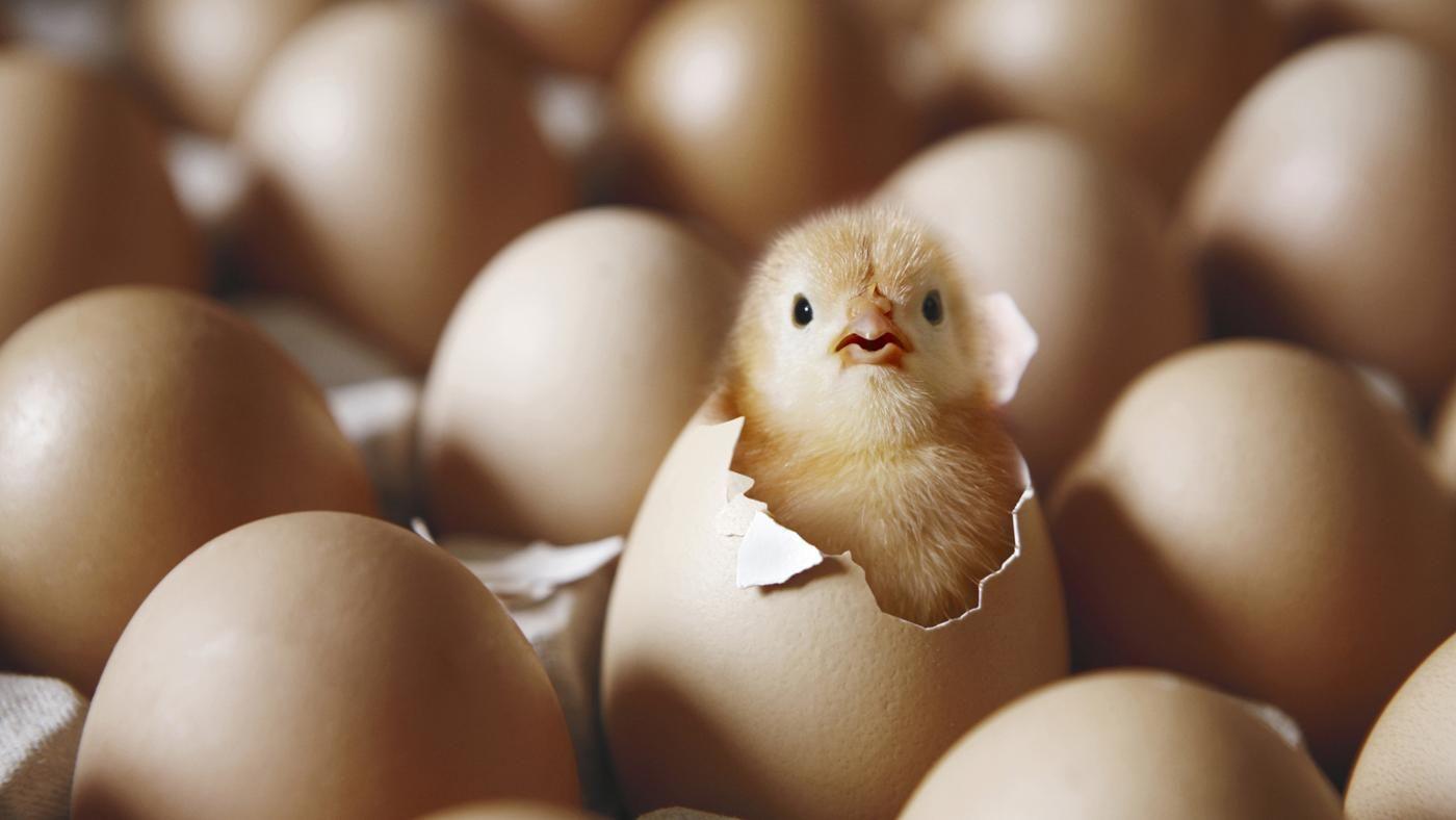 Ученые доказали, что цыплята могут считать…