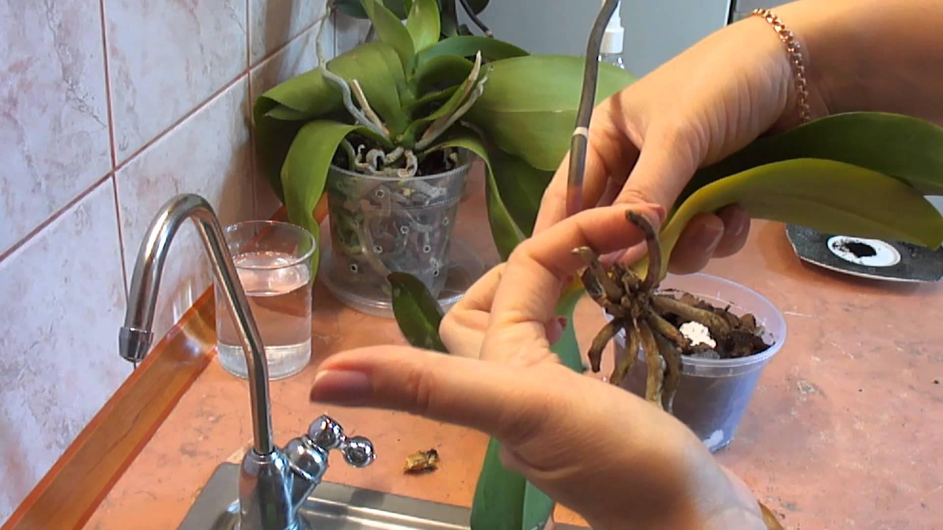Как правильно поливать орхидеи у себя дома?