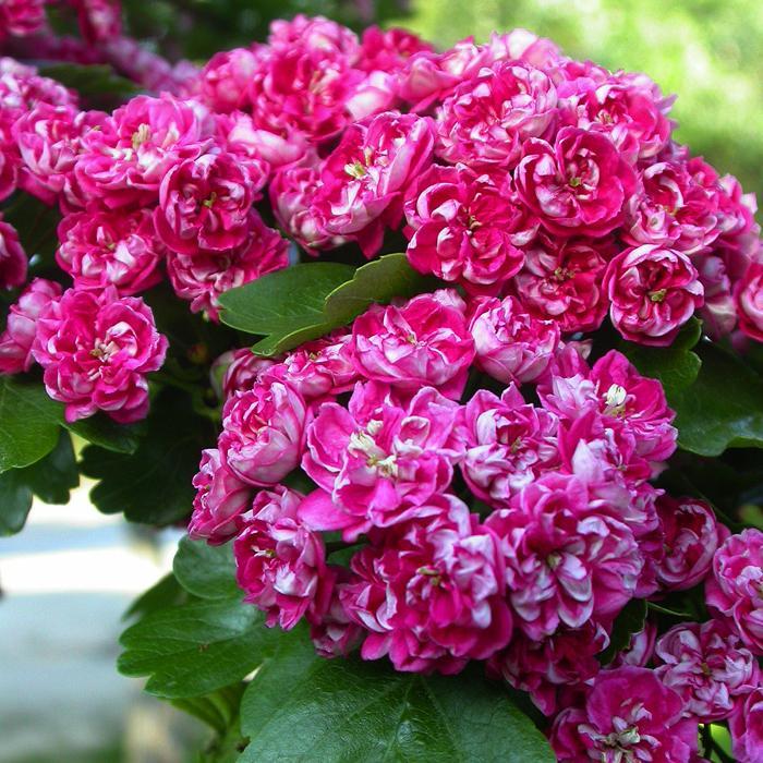 Роза и боярышник — эффектное и функциональное украшение приусадебного участка
